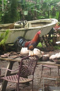Road to Hana Rooster