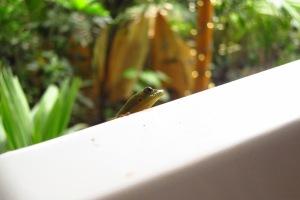 Peek-a-boo Gecko